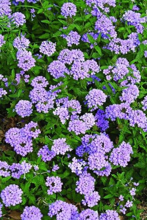 plante verveine princesse bleue