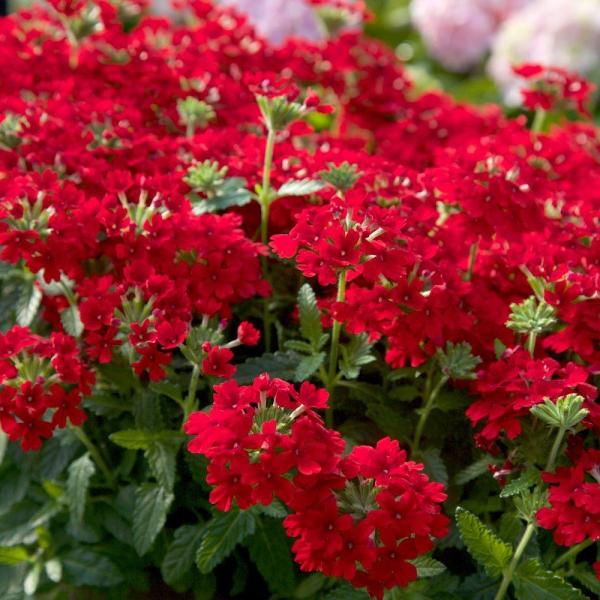 plante verveine saison de floraison longue