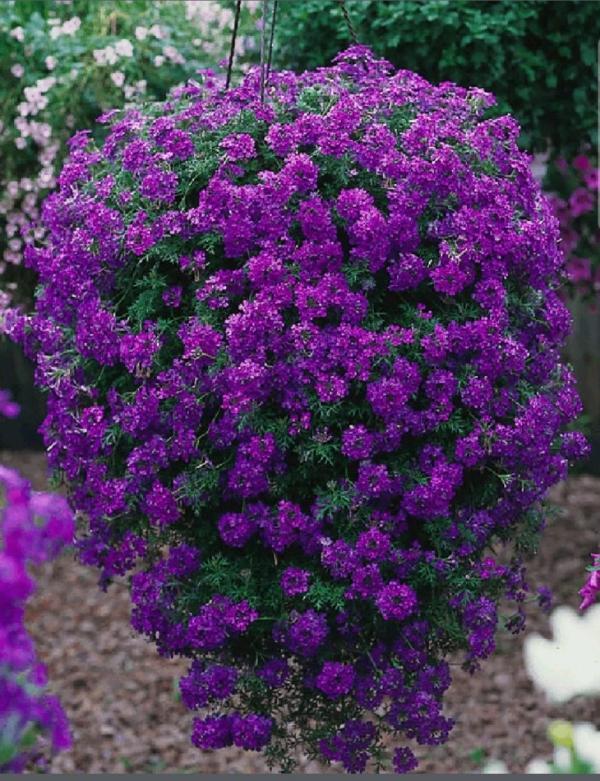 plante verveine une touffe violette