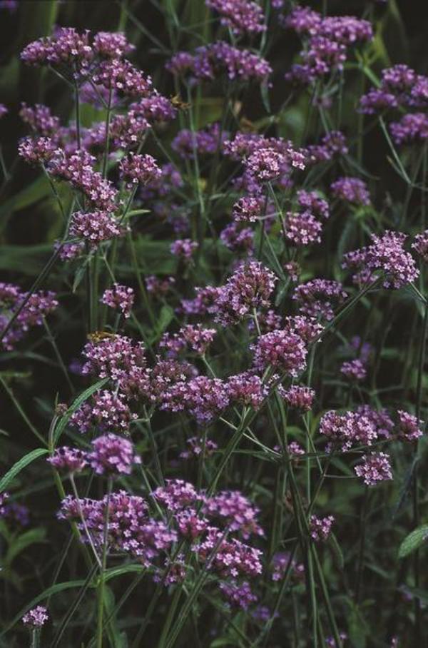 plante verveine verbena bonariensis