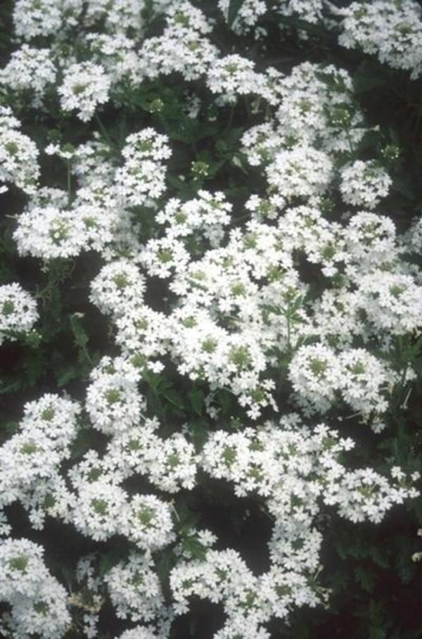 plante verveine verbena canadensis