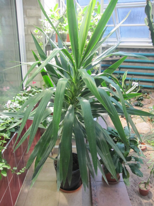 plante yucca à l'abri en hiver