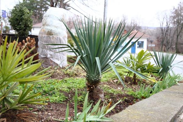 plante yucca au tronc solide
