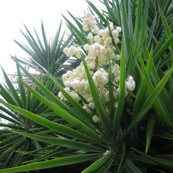 plante yucca beauté de yucca