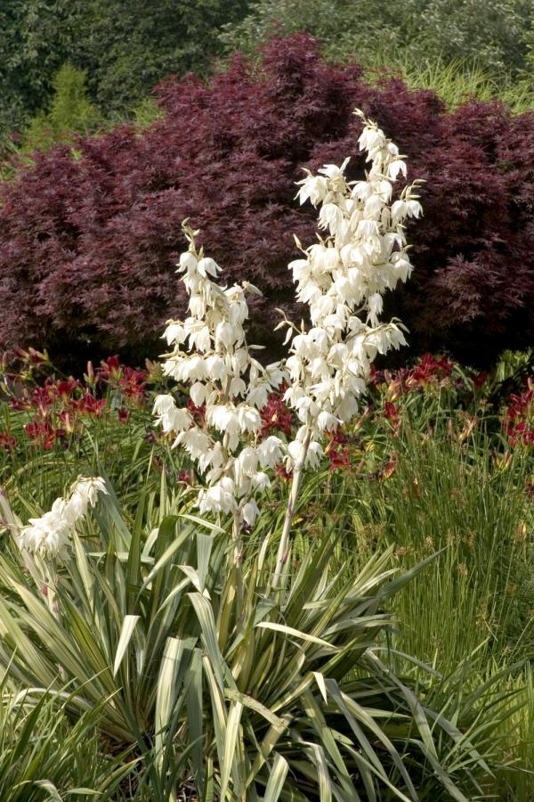plante yucca clochettes blanches