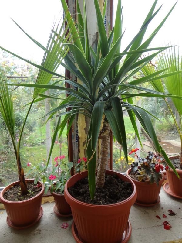 plante yucca des palmiers