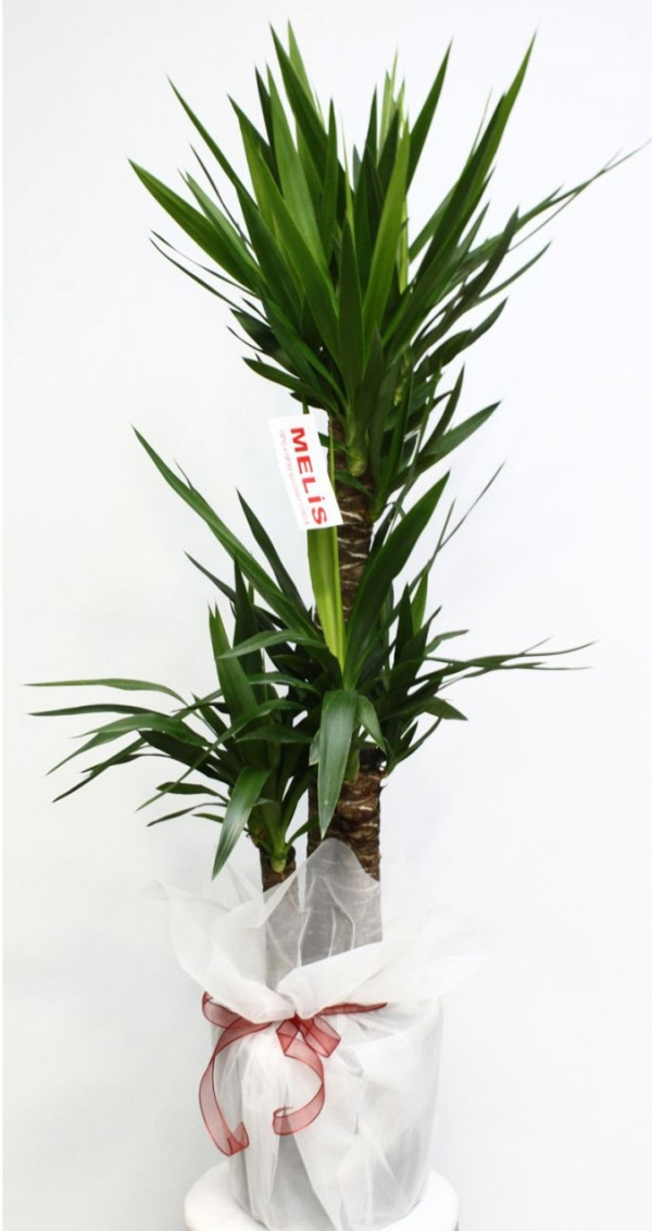 plante yucca deux troncs