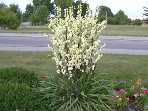 plante yucca en bordure