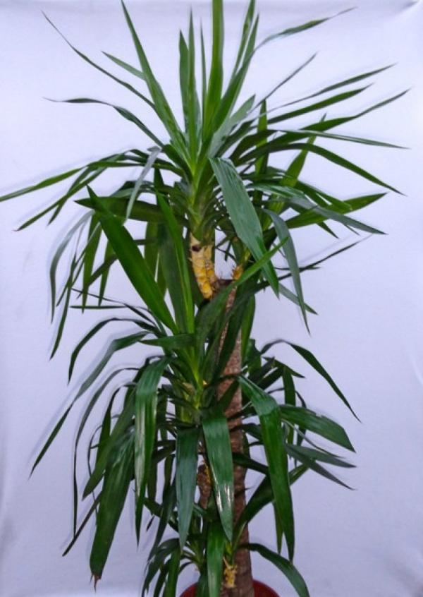 plante yucca en pot à l'intérieur
