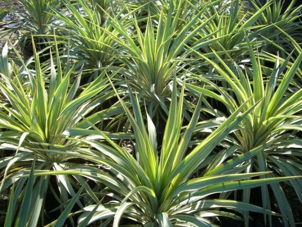 plante yucca explosions vertes
