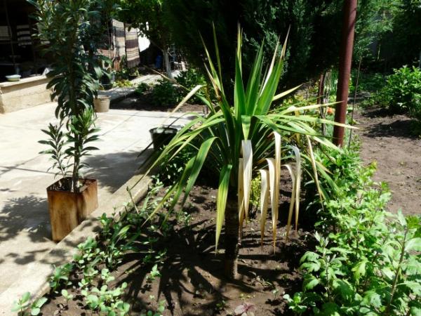 plante yucca feuilles séchées