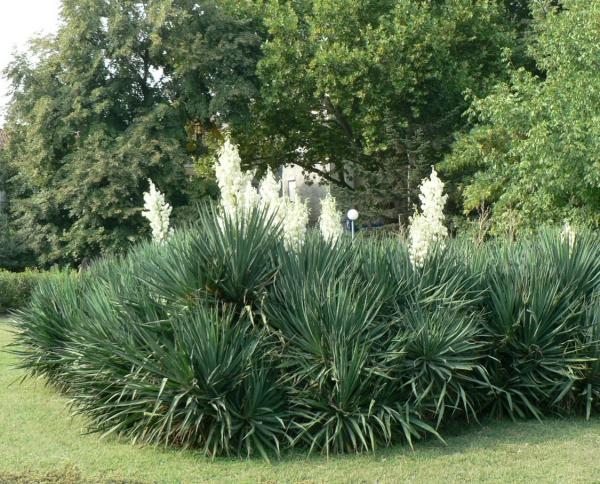 plante yucca grande densité de yucca