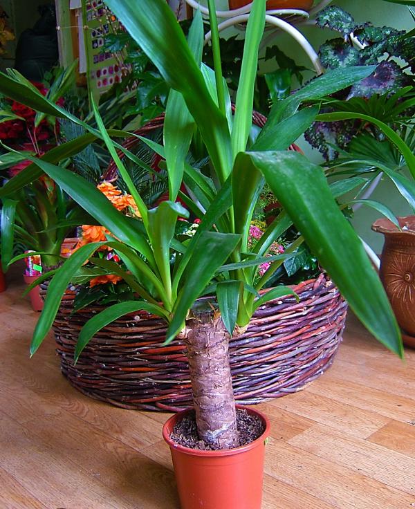 plante yucca jolie verdure