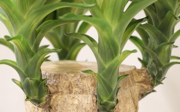 plante yucca tronc épais