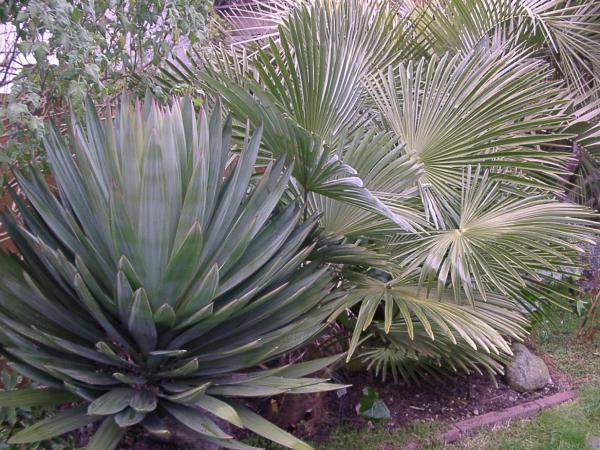 plante yucca un coin de plantes désertiques