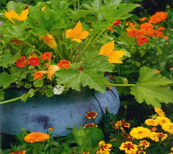 planter courgette au milieu des fleurs