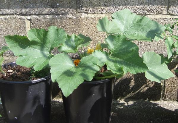 planter courgette dans de grands seaux