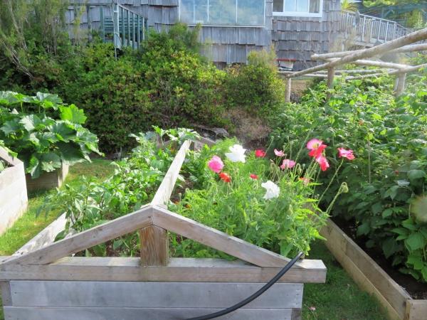 planter courgette en plates-bandes