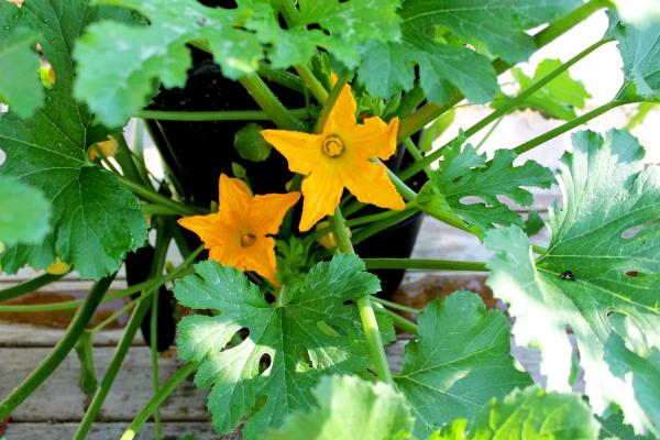 planter courgette jolies fleurs