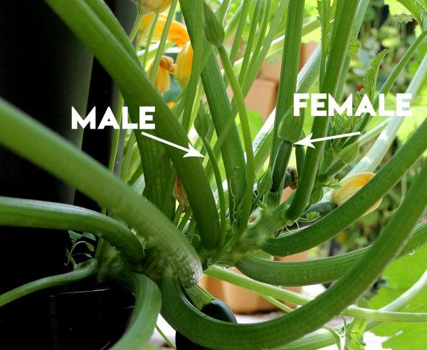 planter courgette mâle et femelles