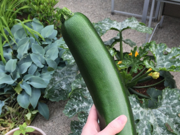 planter courgette un bon fruit