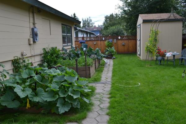 planter courgette une arrière-cour