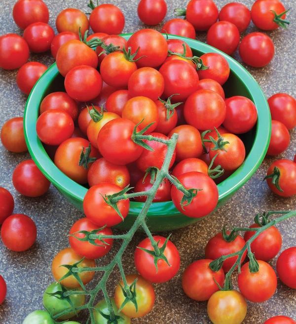 planter des tomates cerises bonne récolte