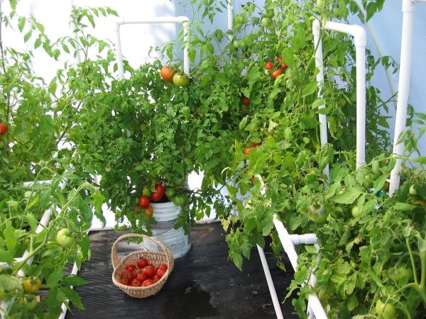 planter des tomates cerises comme une serre
