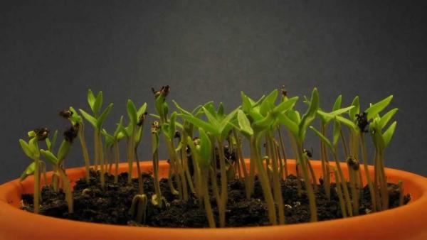 planter des tomates cerises de petits germes