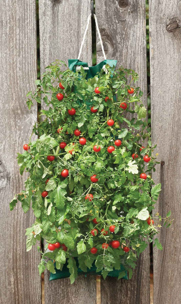 planter des tomates cerises fleur ou légume