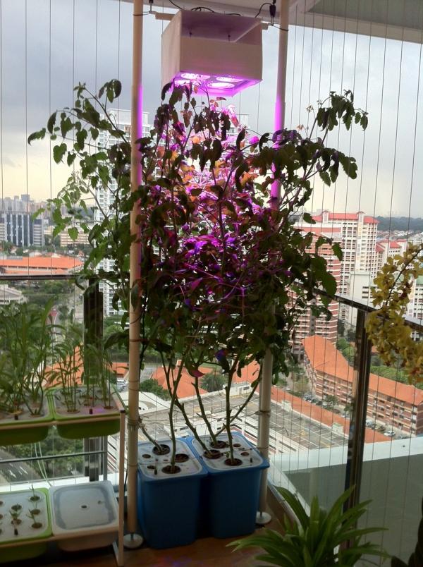 planter des tomates cerises grands germes