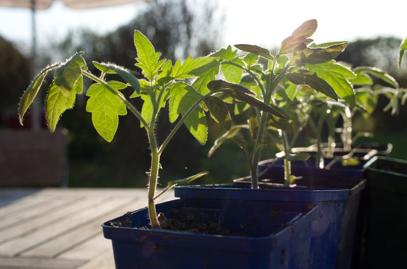 planter des tomates cerises jeunes plantes dans le jardin