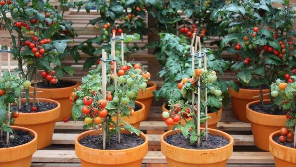 planter des tomates cerises piquets autour