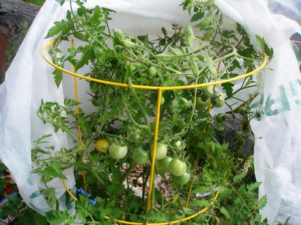 planter des tomates cerises plantes dans un cylindre métallique