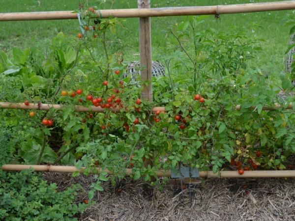 planter des tomates cerises supports en bambou