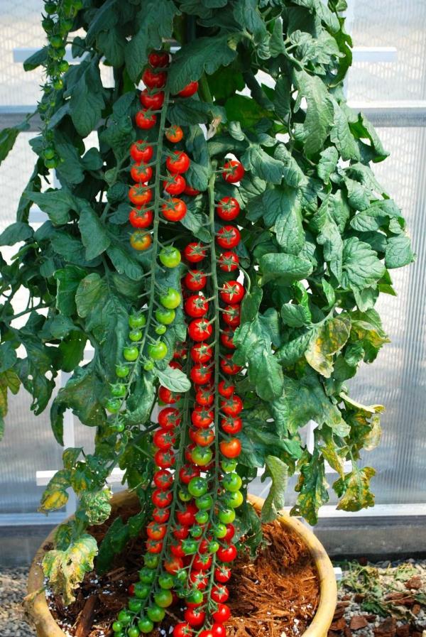 planter des tomates cerises un grand pot