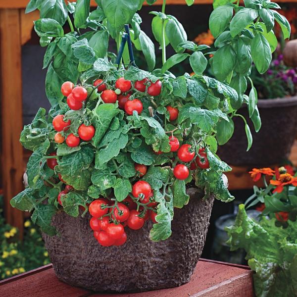 planter des tomates cerises une beauté rouge