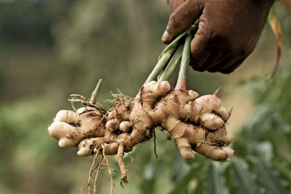 planter du gingembre avec des rhizomes