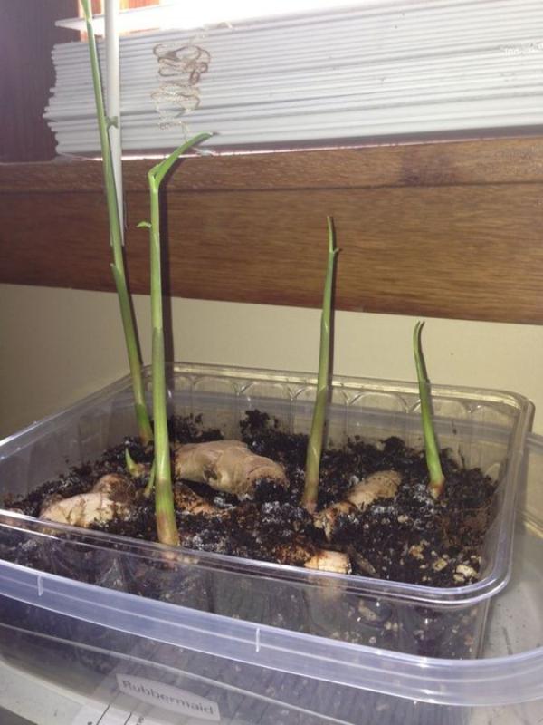 planter du gingembre en croissance