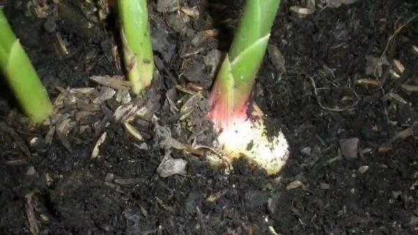 planter du gingembre germination réussie