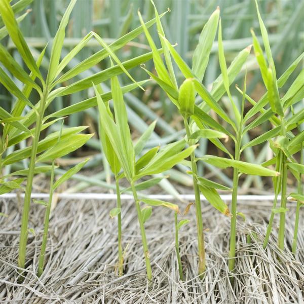 planter du gingembre type rustique