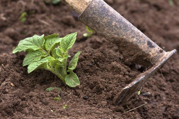 planter les pommes de terre avec une houe