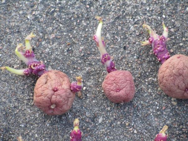 planter les pommes de terre bien germées
