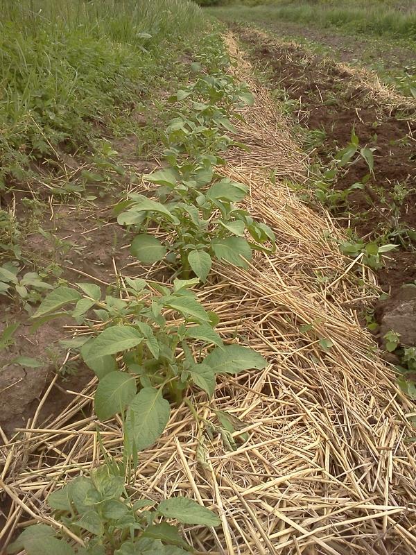 planter les pommes de terre couvrir de paille