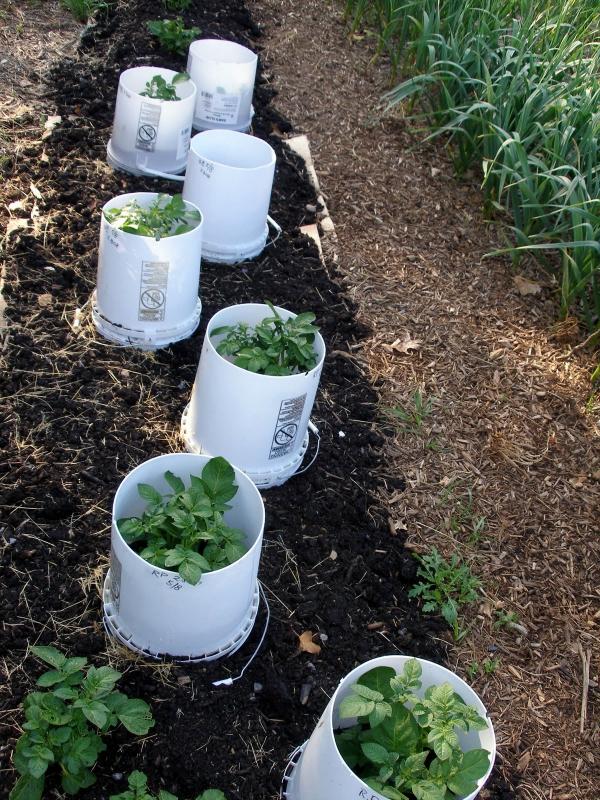 planter les pommes de terre dans des seaux