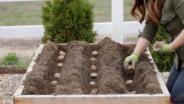 planter les pommes de terre dans un coffre
