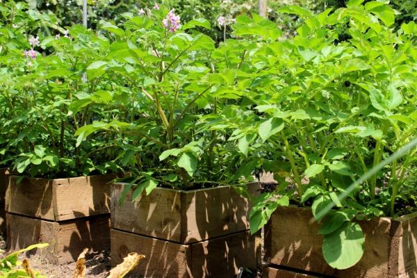 planter les pommes de terre des coffres de pallettes
