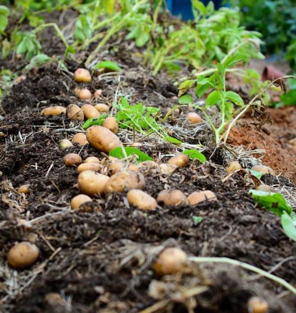 planter les pommes de terre récolter facilement