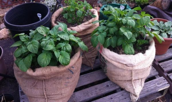 planter les pommes de terre sacs en chanvre