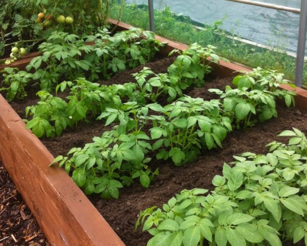 planter les pommes de terre tranchées courtes